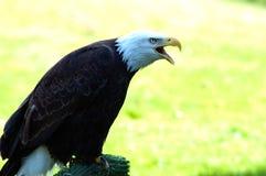 Aquila calva americana no.2 Fotografia Stock Libera da Diritti