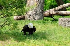 Aquila calva americana sulla terra Fotografie Stock