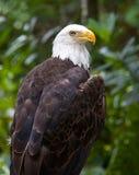 Aquila calva appollaiata Fotografia Stock Libera da Diritti