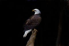 Aquila calva appollaiata sul ceppo contro il nero Fotografie Stock