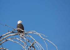 Aquila calva appollaiata sull'albero nudo di inverno Immagini Stock Libere da Diritti
