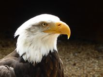 Aquila calva che esamina fuori il mondo fotografia stock libera da diritti