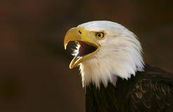 Aquila calva che grida Immagine Stock Libera da Diritti