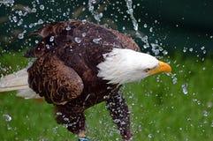 Aquila calva che ha un bagno Fotografia Stock Libera da Diritti