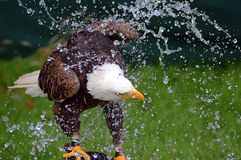 Aquila calva che ha un bagno Immagine Stock