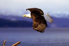 Aquila calva che sale con la luce del fermo nel suo occhio (leuco del Haliaeetus Immagini Stock