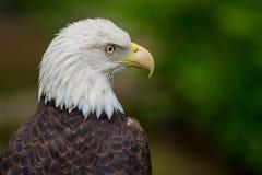 Aquila calva che sembra di destra Immagini Stock Libere da Diritti
