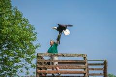Aquila calva che si siede sulla mano dell'operatore dell'uccello Immagine Stock Libera da Diritti