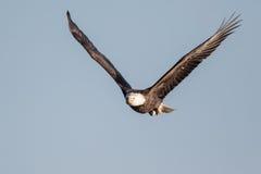 Aquila calva con i pesci Immagini Stock Libere da Diritti