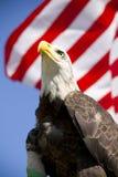 Aquila calva con la bandierina Immagine Stock Libera da Diritti