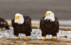 Aquila calva d'Alasca Fotografia Stock Libera da Diritti