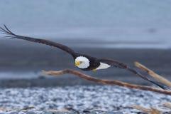 Aquila calva d'Alasca, leucocephalus del Haliaeetus Fotografia Stock Libera da Diritti