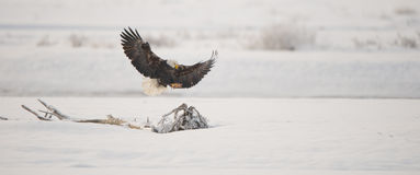 Aquila calva d'atterraggio Fotografie Stock