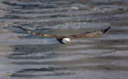 Aquila calva durante il volo Immagini Stock Libere da Diritti