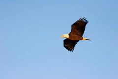Aquila calva durante il volo Fotografie Stock