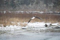 Aquila calva durante il volo Immagine Stock