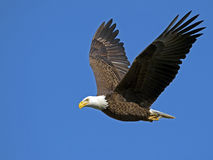 Aquila calva durante il volo con i pesci immagine stock