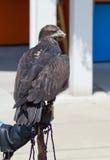 Aquila calva giovanile Fotografia Stock Libera da Diritti