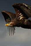Aquila calva giovanile durante il volo Fotografia Stock Libera da Diritti