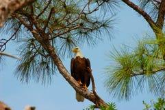 Aquila calva - Halialeetus Leucocephalus fotografia stock libera da diritti
