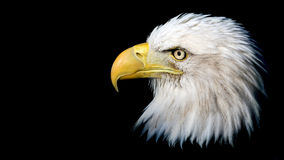 Aquila calva isolata Fotografia Stock Libera da Diritti