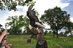 Aquila calva (leucocephalus del Haliaeetus) fotografia stock