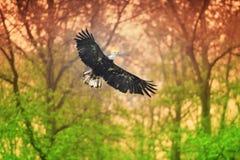 Aquila calva (leucocephalus del Haliaeetus) immagine stock libera da diritti
