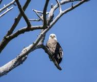 Aquila calva (leucocephalus del Haliaeetus) Immagini Stock Libere da Diritti