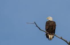 Aquila calva matura Fotografia Stock