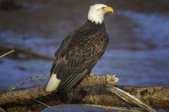 Aquila calva matura immagini stock libere da diritti