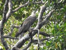 Aquila calva matura che si siede su un ramo di albero su un fondo del cielo blu, nelle giungle dello Sri Lanka fotografie stock libere da diritti