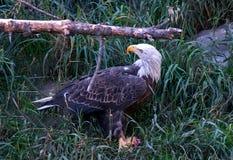 Aquila calva nel Montana Immagini Stock