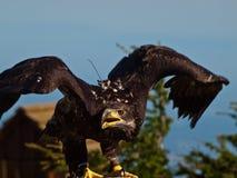 Aquila calva nel profilo con le ali aperte Fotografia Stock Libera da Diritti