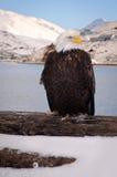Aquila calva nell'Alaska Fotografia Stock