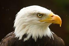 Aquila calva nella pioggia fotografia stock libera da diritti