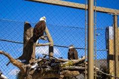 Aquila calva nello zoo fotografia stock