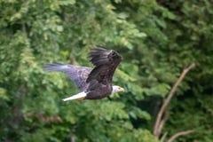 Aquila calva volante fotografia stock
