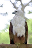 Aquila capa bianca immagini stock libere da diritti
