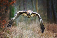 aquila chrysaetos μόνιμος κορμός lat αετών χρυσός ξύλινος Chrysaetos Aquila) Στοκ φωτογραφίες με δικαίωμα ελεύθερης χρήσης