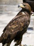 Aquila Chrysaetos royalty free stock photo