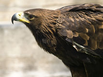 Aquila Chrysaetos Royalty Free Stock Images
