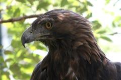 aquila chrysaetos eagle golden Στοκ εικόνες με δικαίωμα ελεύθερης χρήσης