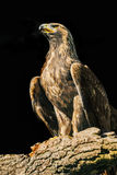 Aquila chrysaetos - eagle Stock Photography