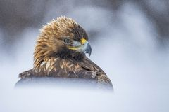 Golden Eagle, Aquila chrysaetos. A portrait in the snow royalty free stock images