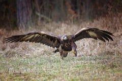 aquila chrysaetos orła złotego lat trwanie bagażnik drewniany Aquila chrysaetos) Obrazy Stock