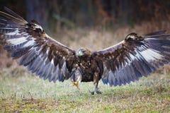 aquila chrysaetos orła złotego lat trwanie bagażnik drewniany Aquila chrysaetos) Zdjęcia Royalty Free