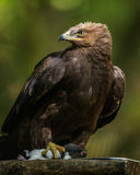 Aquila clanga - eagle Stock Photography