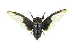 Aquila Cpytotymtan, cicada που απομονώνεται στο άσπρο υπόβαθρο Στοκ φωτογραφίες με δικαίωμα ελεύθερης χρήσης