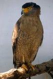Aquila crestata del serpente, Butterworth, Malesia fotografie stock libere da diritti