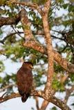Aquila crestata del serpente nella sosta nazionale di Bandipur Immagini Stock